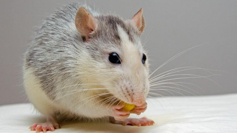 Rats Infestation: Get Rid of Rodents at Home