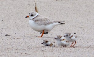 Piping plover. Photo: USFWS