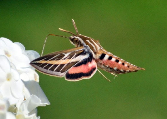 1st-place-rasmussen-mary-rasmussen1_white-lined_sphinx_moth