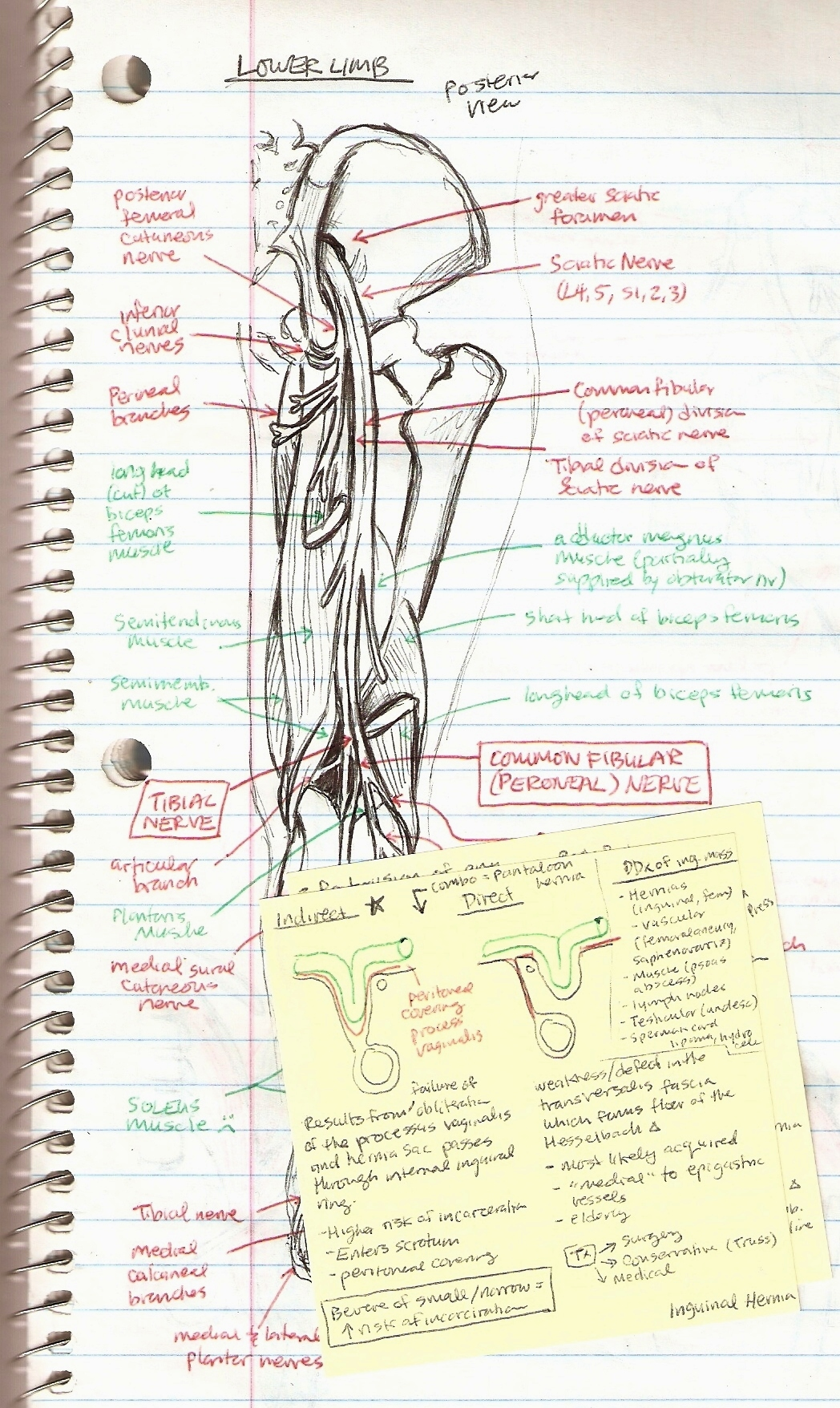 Michiko Maruyama Orthopedic Rotation Sketches Leg Nerves plus Inguinal Hernia Sticky Note Diagram