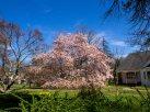 Magnolias 25 avril 2015