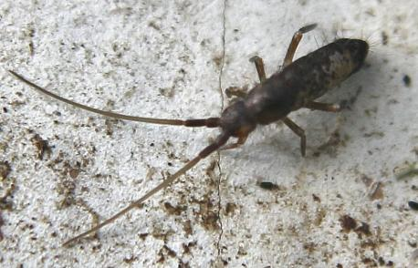 Most species have an abdominal, tail-like appendage, the furcula, that is folded beneath the body to be used for jumping when the animal is threatened. It is held under tension by a small structure called the retinaculum (or tenaculum) and when released, snaps against the substrate, flinging the springtail into the air. All of this takes place in as little as 18 milliseconds. Springtails also possess the ability to reduce their body size by as much as 30% through subsequent ecdyses (molting) if temperatures rise high enough. The shrinkage is genetically controlled. Since warmer conditions increase metabolic rates and energy requirements in organisms, the reduction in body size is advantageous to their survival.