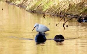 Little Egret an Mallard