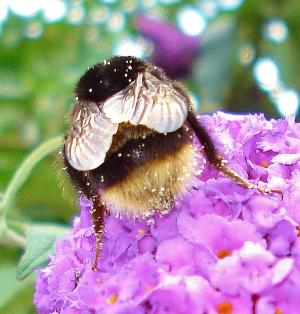 Bufftailed Bumblebee