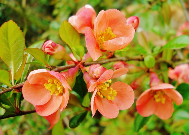 Japanese Quince in Bloom