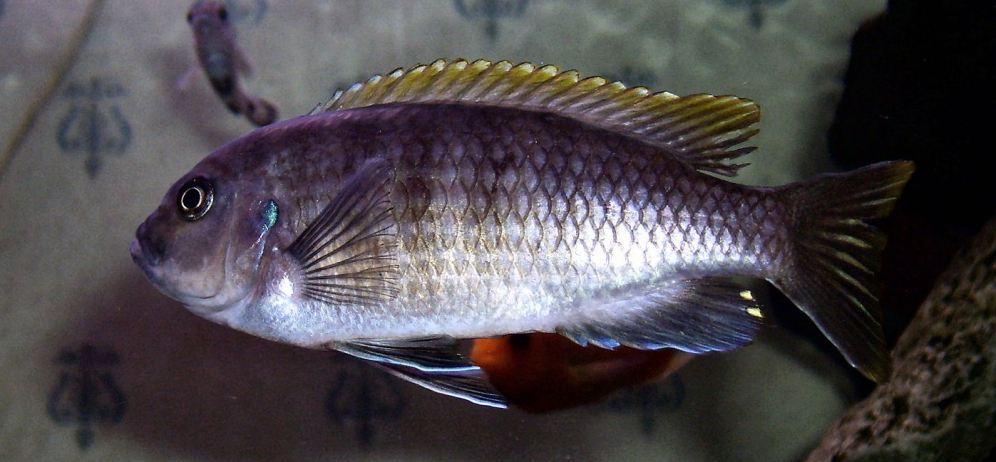 cynotilapia-mbamba-female