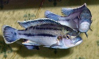 lake-malawi-mbuna-2