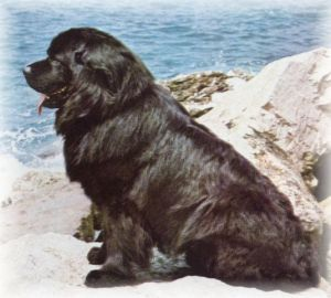 terranova perro