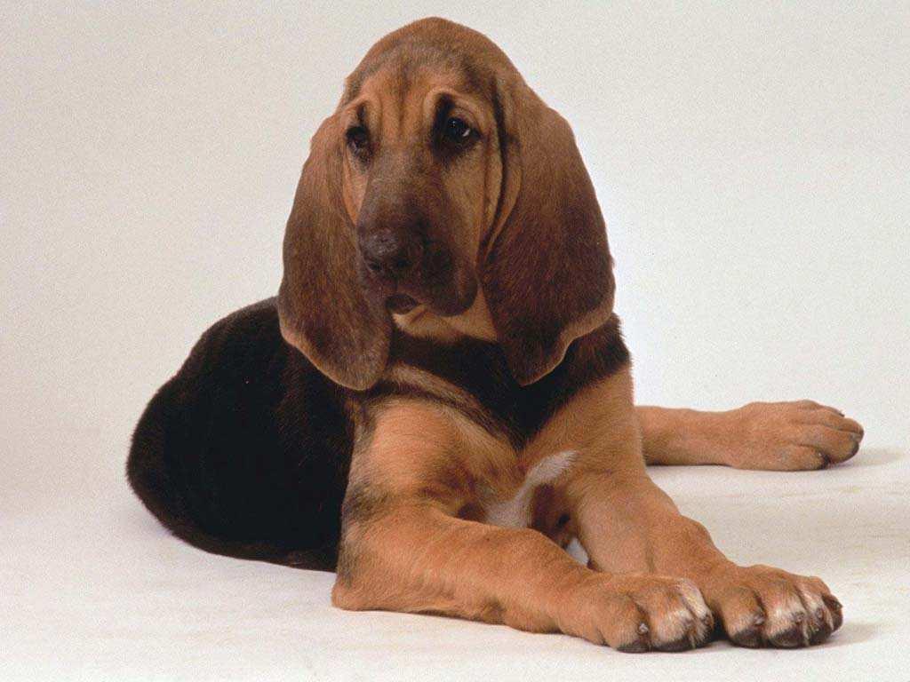 adenoma de próstata de perro para la ventana