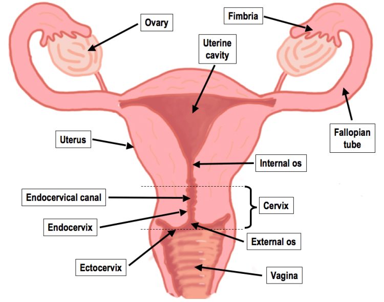 Female Reproductive system | Histology Blog