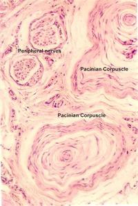 Peripheral Nerve Histology | Microanatomy Web Atlas | Gwen