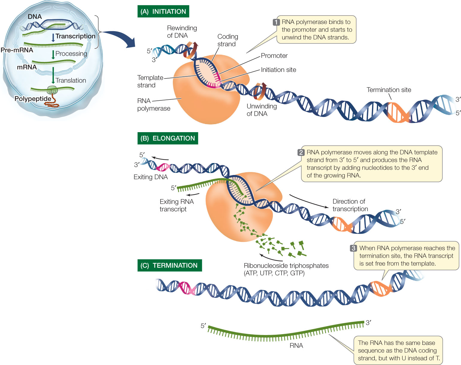 Prokaryotic Transcription Enzymes Steps Significance