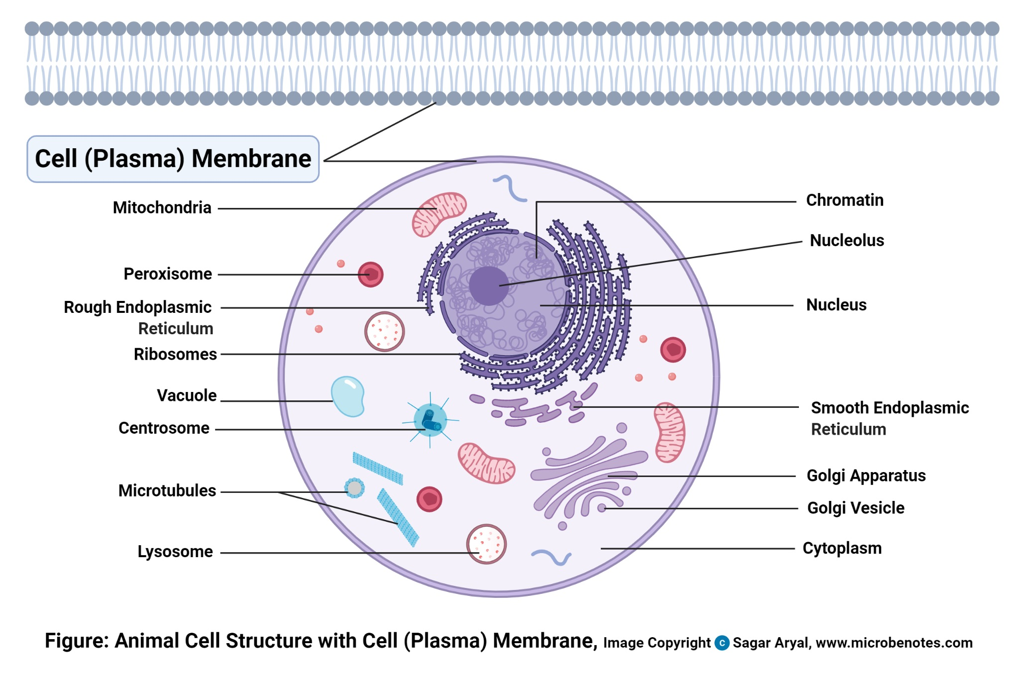 Animal Cell Definition Structure Parts Functions And