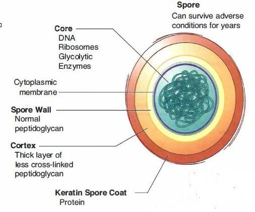 Bacterial Spore diagram of spores wiring diagram schematic name