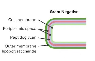 Cell wall of Gram negative bacteria