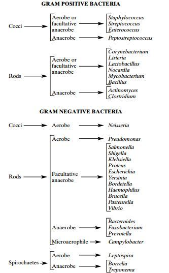 Medically Important Gram Positive and Gram Negative Bacteria