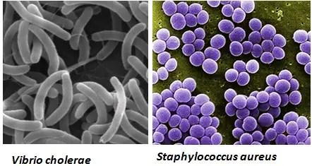 characteristics of pathogenic bacteria