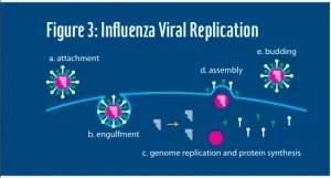 influenza three