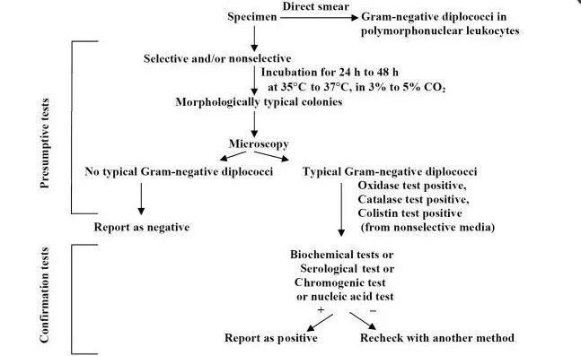Algorithm for culture and identification of Neisseria gonorrhoeae