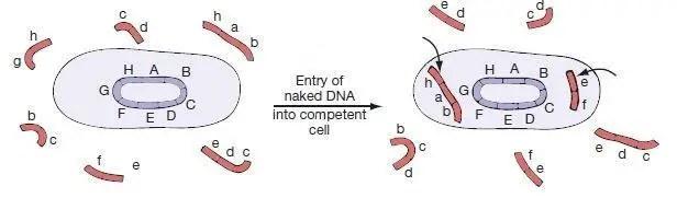Bacterial Transformation: Mechanism - Microbeonline  Bacterial Trans...