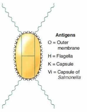 Enterobacteriaceae Family: Common Characteristics