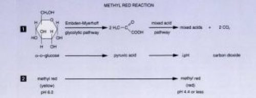 Fig: Methyl Red (MR) Test Reaction