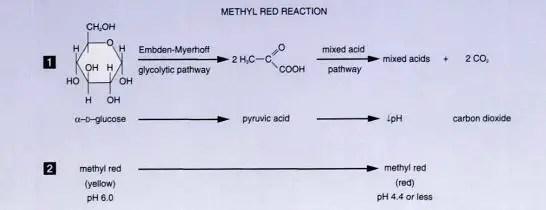 Fig: Methyl Red (MR) Test Reaction