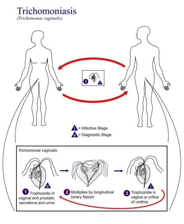 Laboratory diagnosis of Trichomonas vaginalis infections