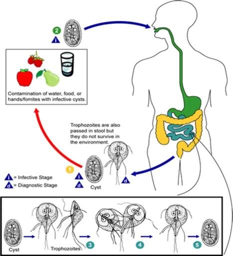 Life Cycle of Giardia lamblia (source: CDC)