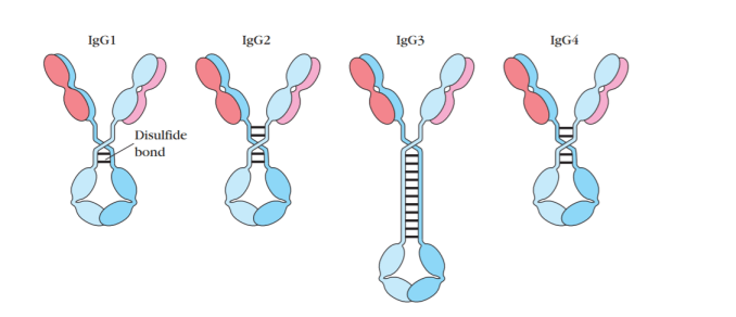 General Structure of Four Subclasses of IgG Antibody