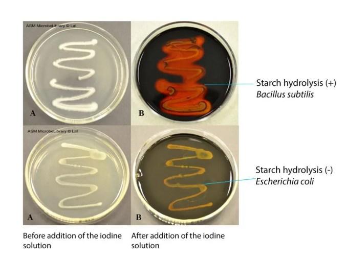Starch Hydrolysis Test