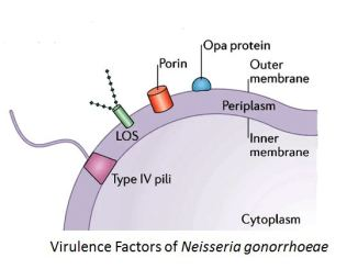 Virulence factors of Neisseria gonorrhoeae