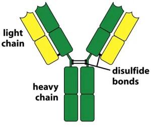 Basic Structure of antibody molecule