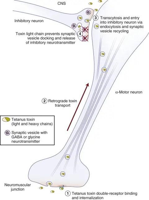 Tetanus toxin mechanism