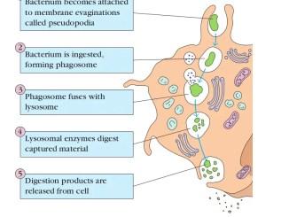 Steps of Phagocytosis