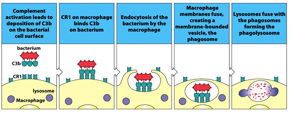 Complement mediated phagocytosis