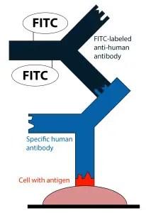 IFA for antibodies detection