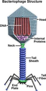 Structure of a Bacteriophage