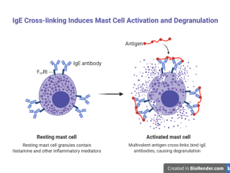 Role of IgE in mast cell degranulation