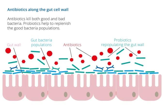 Action of Probiotics and antibiotics