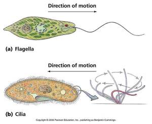 Differences Between Cilia and Flagella