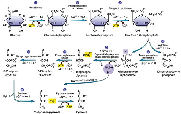 Mitochondria With Atp Cycle Diagram