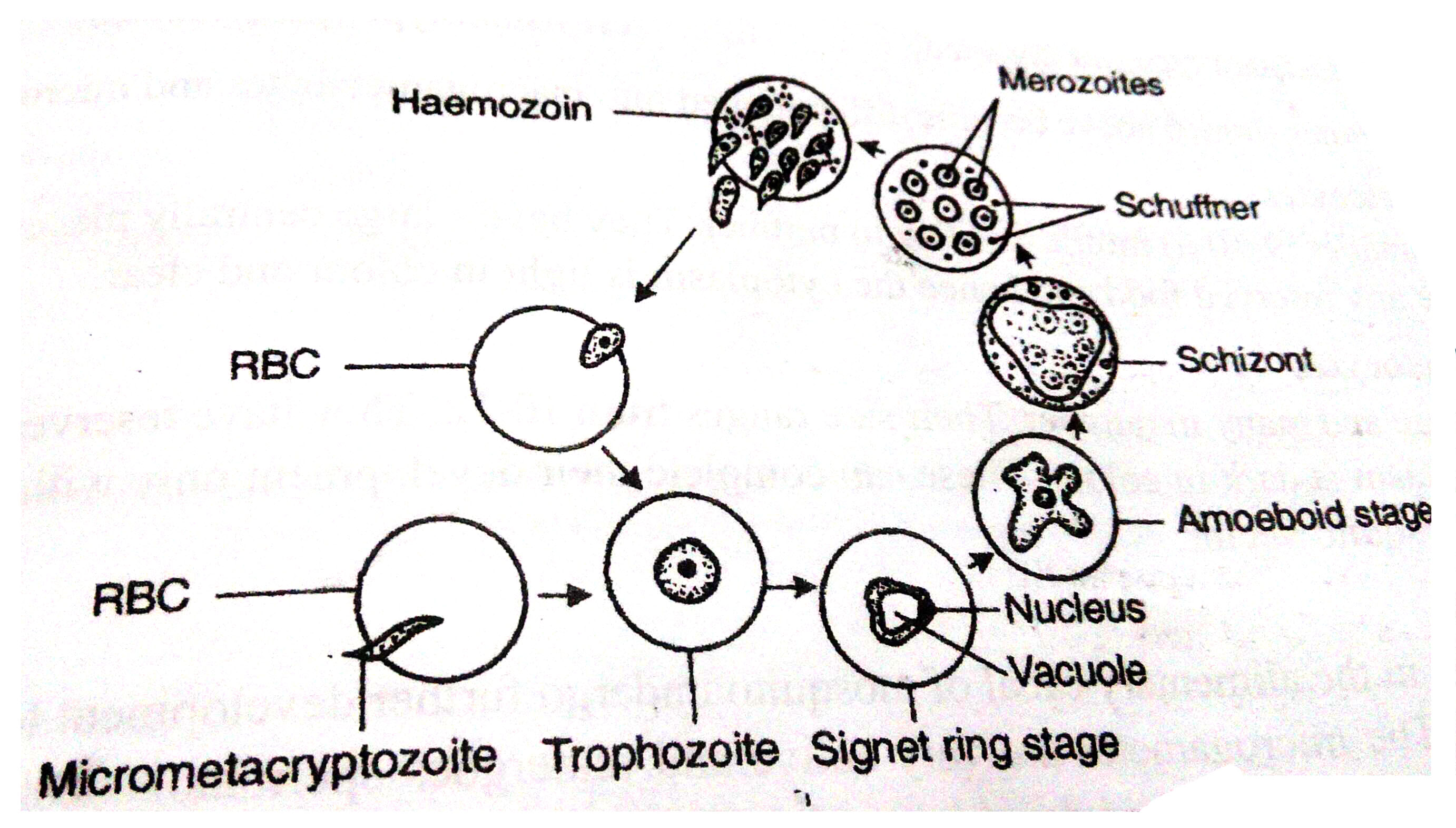Life Cycle Of Plasmodium Vivax