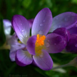DSC_9753-purple-crocus
