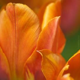 DSC_3109-tulip-756