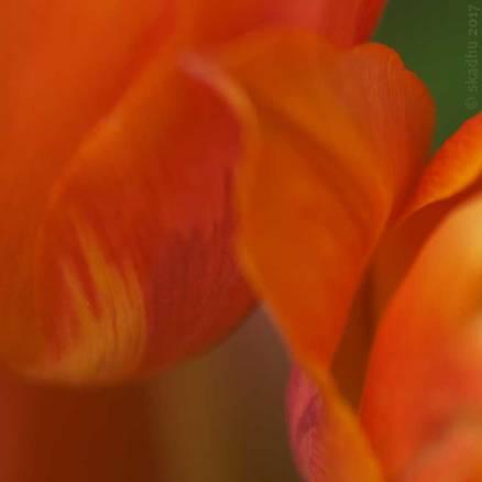 DSC_3117-tulip-756