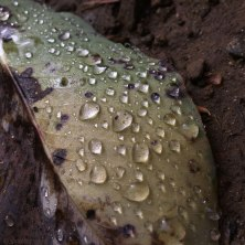 IMG_6589-dew-on-leaf-756