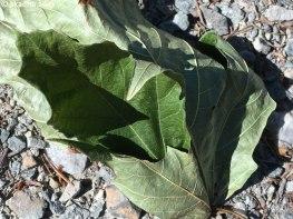 IMG_6922-maple-leaf-756