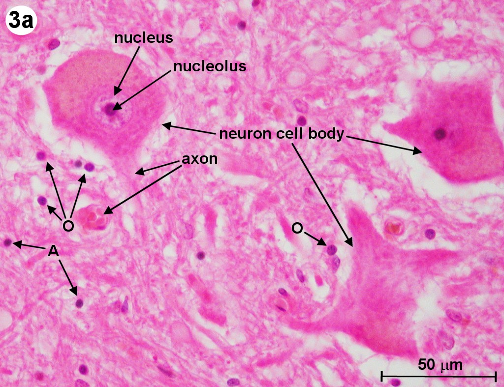 Exploration Of The Human Spinal Cord