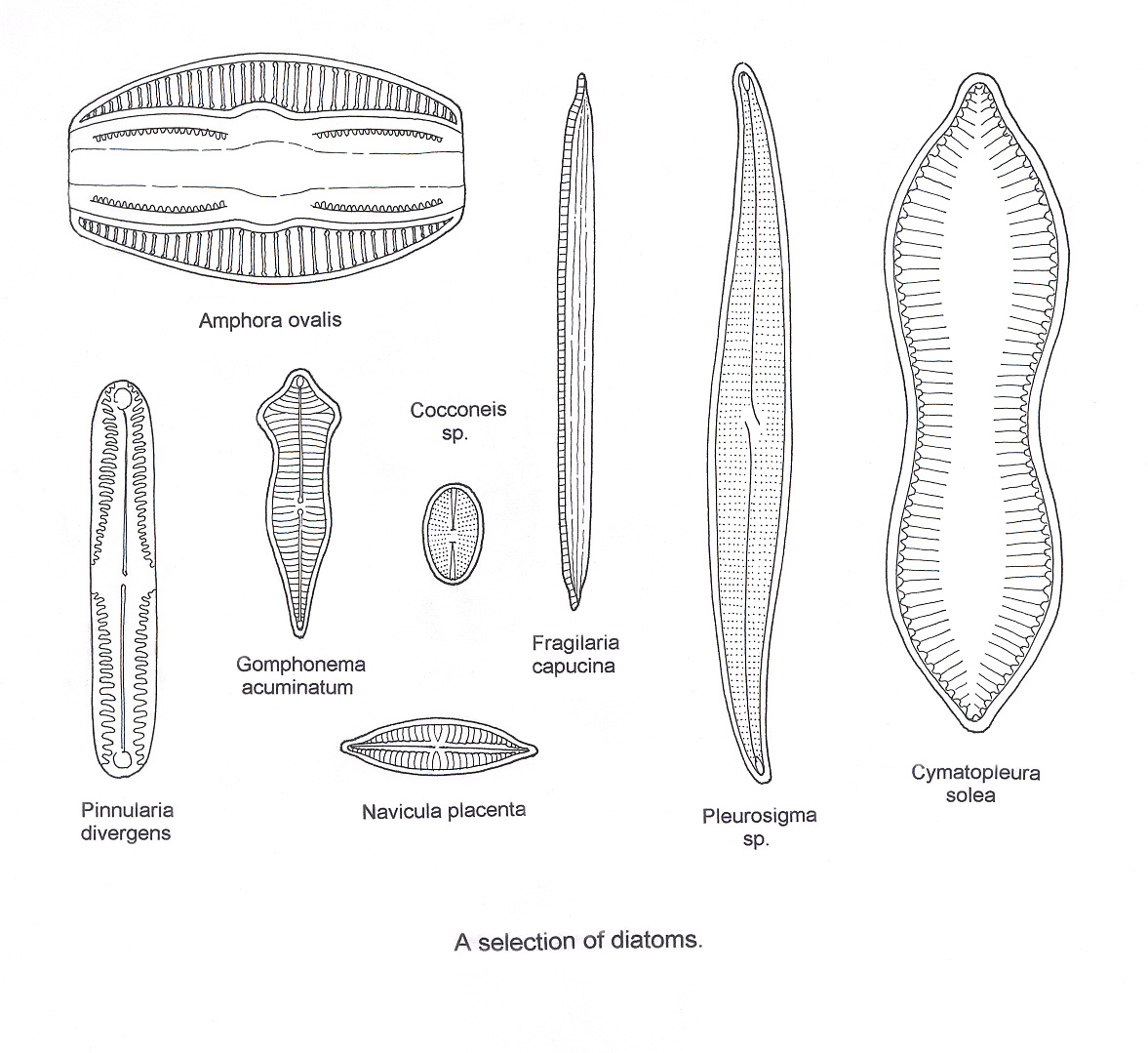 Pin Spirogyra Diagram